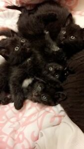 Free kittens to good family