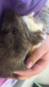 5 female guinea pigs with really big play pen cage