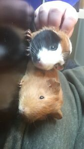 Two male guinea pigs and cage