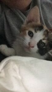 Female Calico Kitten