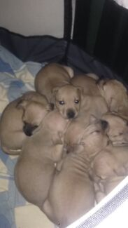 American staffy cross red rose pups for sale!