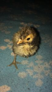 4 golden laced Polish Chicks