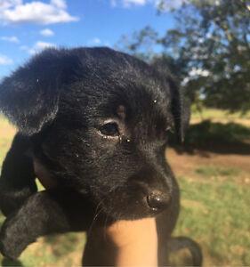 Kelpie X Australian Terrier Pups Tingoora South Burnett Area Preview