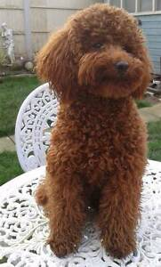 Pedigree toy poodle female Penrith Penrith Area Preview