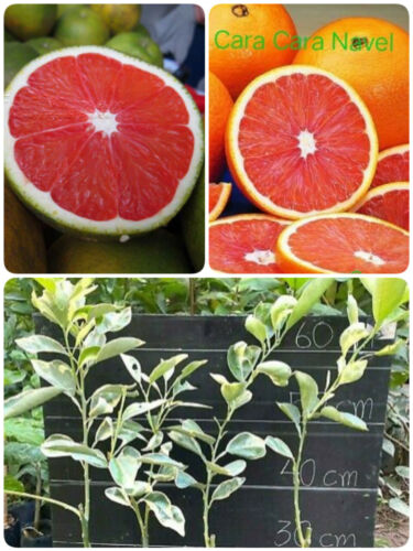 Variegated Cara Cara Navel Orange Tree Graft Plant Live Tropical RARE
