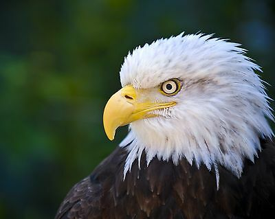 Eagle / BIRD 8 x 10 / 8x10 GLOSSY Photo Picture IMAGE #2