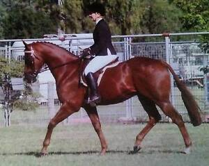 *******Urgent sale****** Talented show horse .... Yeppoon Yeppoon Area Preview