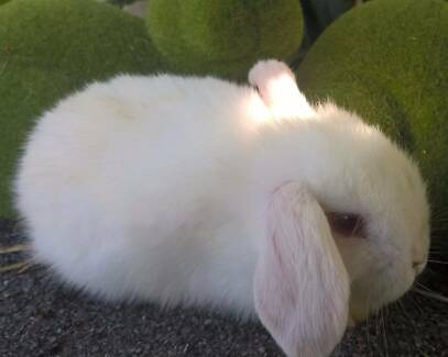 Purebred mini lop rabbit package with cage, accessories 8 wks old
