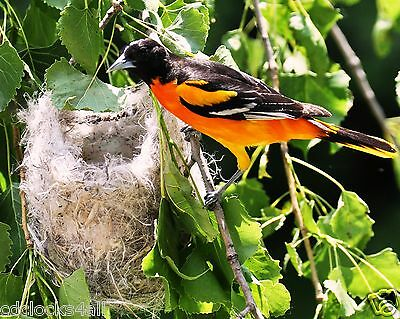 Oriole In Nest / BIRD / 8x10 / 8 x 10 GLOSSY Photo Picture Image #8