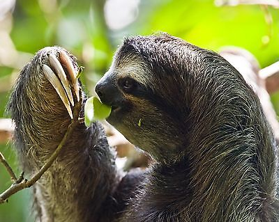 Sloth / Sloths 8 x 10 GLOSSY Photo Picture IMAGE #4