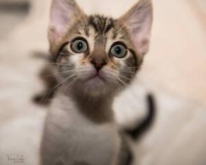 Henry rescue kitten NK2872 VET WORK INCLUDED