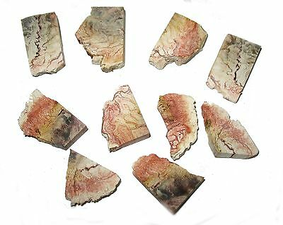 Permian Tietia singularis fossil wood slice in display jar Brazil