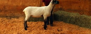 4-H Market Lamb For Sale