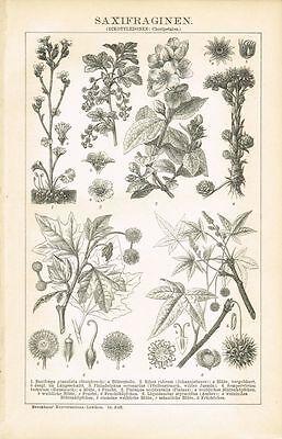 Botanische Tafel SAXIFRAGA / JOHANNISBEERE / PLATANE/ AMBER 1895 Orig.-Holzstich