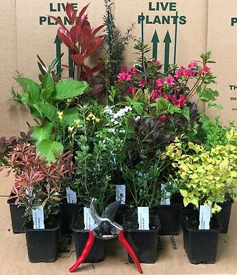 12X MIXED ESTABLISHED GARDEN SHRUBS - HIGH QUALITY POTTED PLANTS NOT PLUG PLANTS
