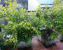 5 well established Lilly Pilly in pots for balcony or garden. Camperdown Inner Sydney Preview