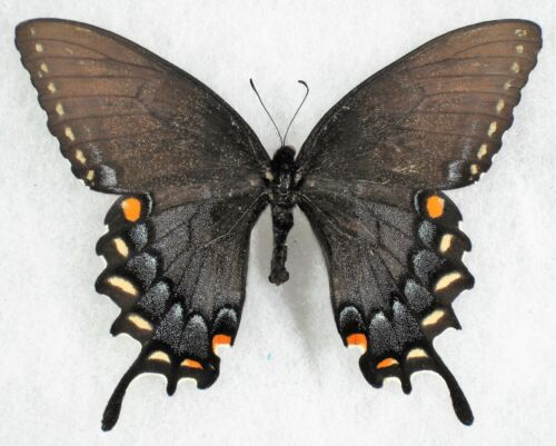 Insect/Butterfly/ Papilio alexiares garcia - Female