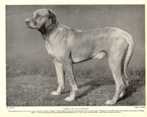 1930s Antique Rhodesian Ridgeback Dog Print Ch Viking Leo of Avondale 3622-F