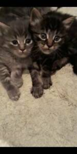 Kittens for sale female and male