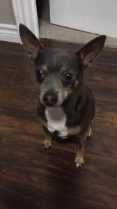 Rehome for a cute little chihuahua! Free