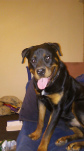 Male Rottweiler Tarneit Wyndham Area Preview