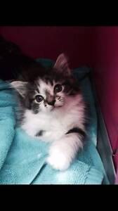 Ragdoll x rescue kitten for adoption Melbourne CBD Melbourne City Preview