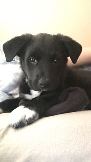 Border Collie Puppy - NEED GONE ASAP