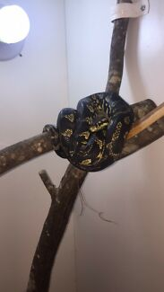 Wanting male pythons to breed with my gorgeous jungle
