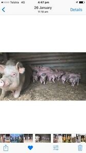13 week old piglets for sale Bulli Wollongong Area Preview