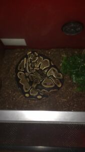 2 year old female ball python