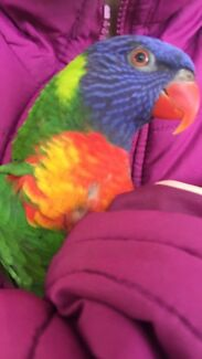 Lost Rainbow Lorikeet REWARD!!