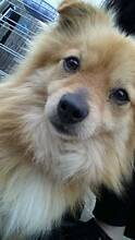 LOST MALE POMERANIAN DOG IN ST ALBANS, MELBOURNE Kealba Brimbank Area Preview