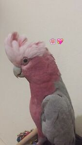 For sale my lovely Galah :( Roselands Canterbury Area Preview
