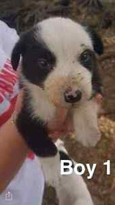 Border collie pups for sale Casino Richmond Valley Preview