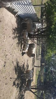 DORPER SHEEP FOR SALE! BABY LAMBS!