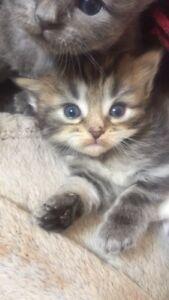 Male domestic tabby kitten