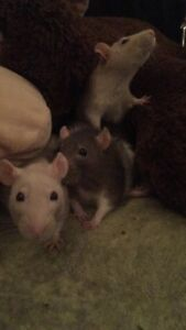Looking for female rats :)