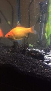 Large Goldfish looking for a pond home