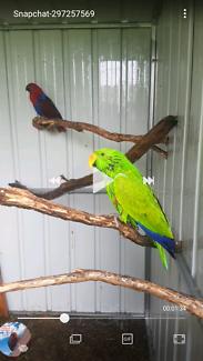 lost parrot eclectus