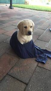 Pedigree Golden Labrador Puppy for sale Gawler Gawler Area Preview