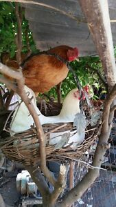 Young Chicken / hens laying Egg for sale Canterbury Canterbury Area Preview