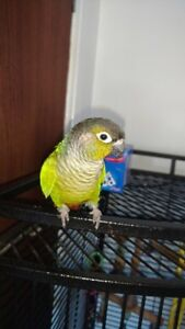 Wanted: Conure