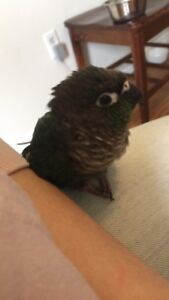 Nine month old turquoise green cheek conure