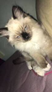 RAGDOLL KITTEN FOR SALE Ryde Ryde Area Preview