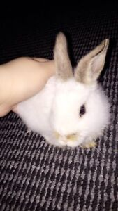 European mini rex rabbit for sell