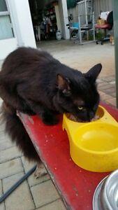Cat Found in Balcatta black no collar Balcatta Stirling Area Preview