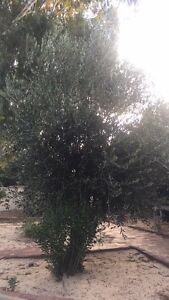Olive tree- you remove Byford Serpentine Area Preview