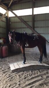 Lovely 6 year old appendix mare