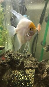 White and yellow angel fish
