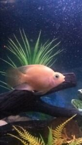 Male Blood-Red Parrot Cichlid For Sale.